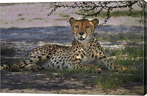 (Cheetah,Acinonyx jubatus, Nxai Pan NP, Botswana, Africa by David Wall/Danita Delimont Canvas Art Wall Picture, Gallery Wrap, 30 x 20 inches)