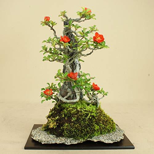 いよじ園 【】 長寿梅 赤花 石付 貴風サイズ 【雑木盆栽】いよじ園 B07MR5B22R