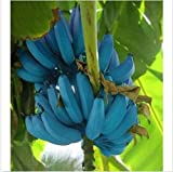 Banana Seeds 200pcs Blue Banana Tree Seeds Delicious Rare Fruit musa Blue Java