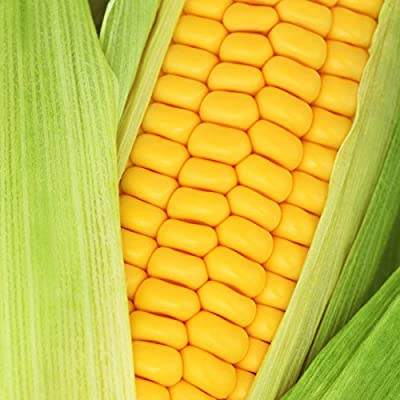 Goldan Bantam 12 Corn Garden Seeds - Non-GMO, Open Pollinated, Heirloom Vegetable Gardening Seeds