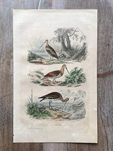 - 1870 Bird Original Antique Engraving, Hand Colored Engraving, Birds Engraving, Bird Art, Antique Bird Print, Antique Woodcock Print Art