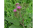 Burdock Seeds Edible Arctium Lappa Herb Homeopathy -