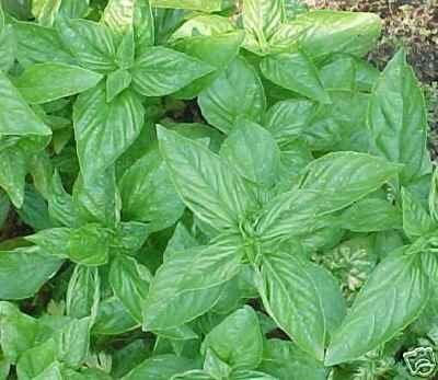 Basil Sweet Genovese Great Garden Herb By Seed Kingdom BULK 30,000 Seeds