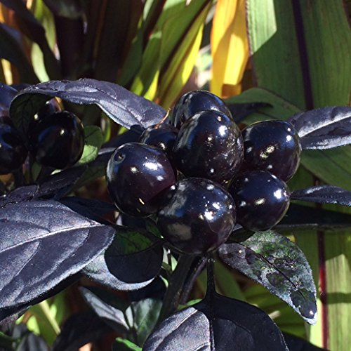 *NEW *BLACK PEARL PEPPER*10 seeds*SHOWY*TROPICAL* #1048 Pearl Pepper