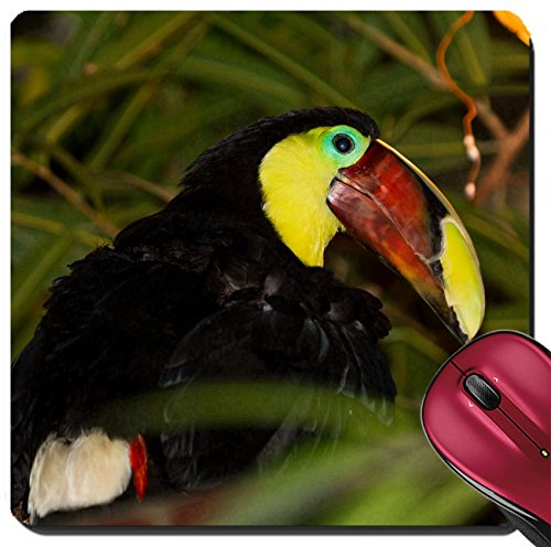Liili Suqare Mousepad 8x8 Inch Mouse Pads/Mat The Chestnut mandibled Toucan or Swainson Toucan Ramphastos ambiguus swainsonii IMAGE ID (Chestnut Mandibled Toucan)