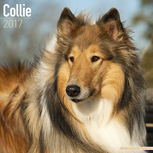 Collie Calendar 2017 - Dog Breed Calendar - Wall Calendar 2016-2017