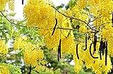 Cassia Fistula | Canafistula | Purging Cassia | Golden Rain Tree