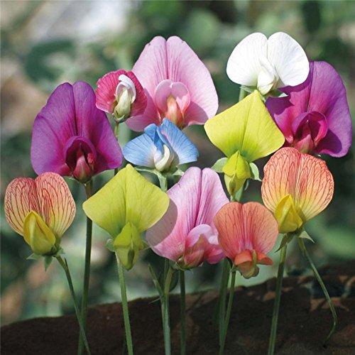 (Sweet Pea Seeds Garden Plant Mixed Color Flower Bonsai Balcony Aromatic Herbs Climbing Potted Blossom )