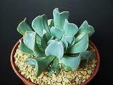 "Echeveria runyonii cv. TOPSY TURVY rare flower succulent cactus plant 4"" pot"