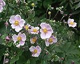 1 starter plant of Japanese Anemone Robustissima