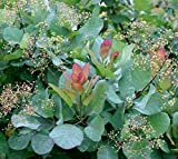 Old Fashioned Smoke Bush Tree (cotinus) - Live Plant - Starter Plug (LG)