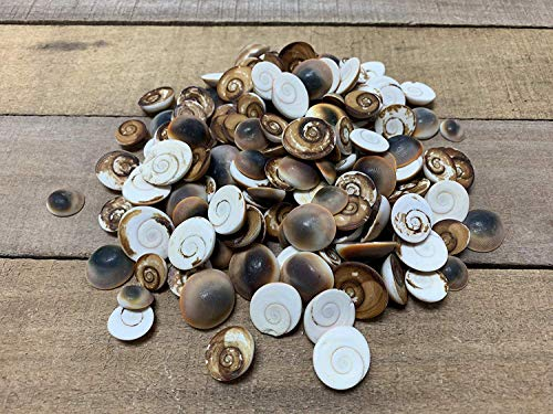 - The Shell Connection Red Cat Eye Shells (Shiva Shells) Turbo Operculum APPX Size: 1-3CM (100)