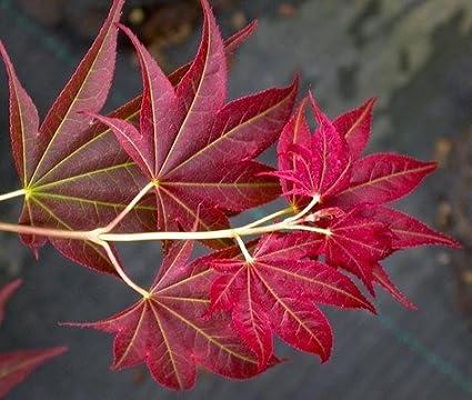 Amazoncom Ruby Star Dwarf Japanese Maple Acer Palmatum Ruby