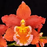 Oncidium Pacific Panache 'Dorothy Jean' Orange Easy to Grow Orchid 3'' Pot