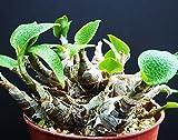 Zamia Furfuracea, CARDBOARD palm sago cycad plant tree mexican seed - 10 seeds