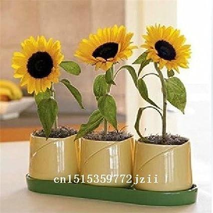 Big sale 50 pcs/bag Helianthus Red Sunflower Seed, Red Sun Fortune Bloom, Garden Heirloom Seeds, Flower Seeds, Bonsai Plants Fre SVI