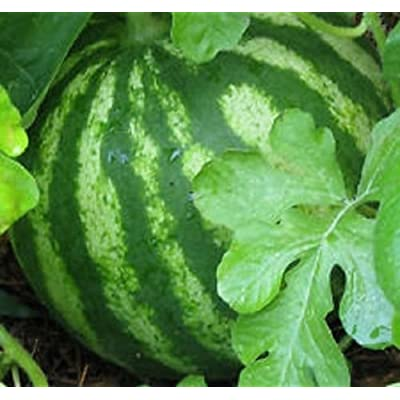 Watermelon Sugar Baby25 seeds a Great Compact Heirloom Garden Watermelon : Watermelon Plants : Garden & Outdoor