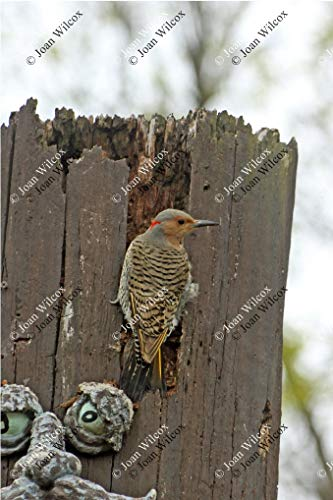 Spring Northern Flicker Woodpecker on Tree Trunk Nature Wildlife Original Fine Art Photography Wall Art Photo Print ()