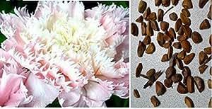 15x Shining light rosa Rose Samen Blume Blumensamen Saatgut Pflanze Rose Garten Rarität Neuheit sehr selten #63