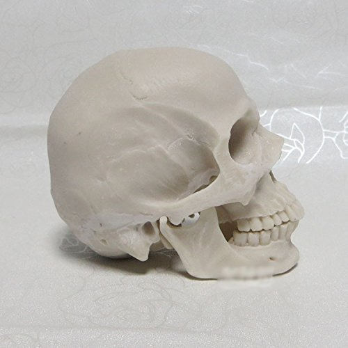 Moveable removal real skull model jaw joint jaw large dental otolaryngology ophthalmology White (1: 2)