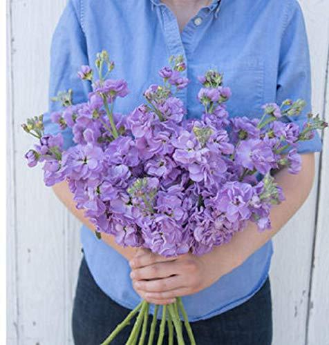 - David's Garden Seeds Flower Stock Katz Lavender Blue SL0394 (Purple) 100 Non-GMO, Open Pollinated Seeds