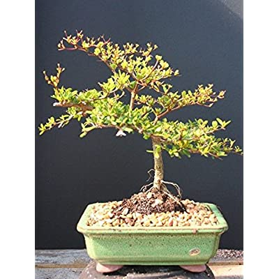 Indoorbonsaiexotics Dwarf Black Olive Bonsai Tree : Grocery & Gourmet Food