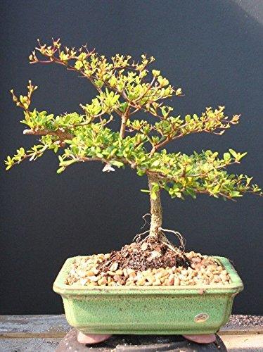 Indoorbonsaiexotics Dwarf Black Olive Bonsai -