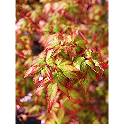 Murasaki Kiyohime Japanese Maple 2 - Year Live Plant : Tree Plants : Garden & Outdoor