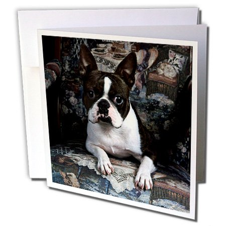 Boston Terrier Philippe - Greeting Card, 6 x 6 inches, single (gc_3112_5) - Terrier Birthday Card