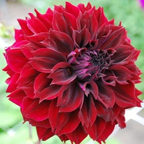 amazon com 1 dahlia fubuki maroon deep red color flower bulb
