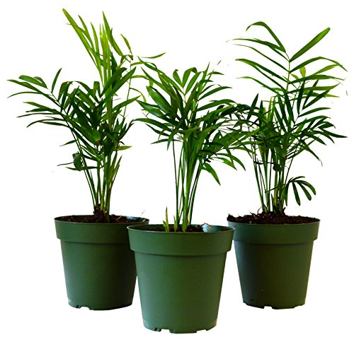 9Greenbox Victorian Parlor Palm, 4 Pound (Pack of 3) (Plant Tree House)