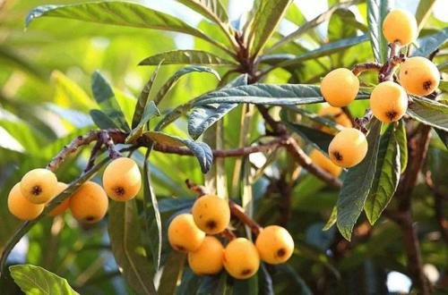 Loquat (Seedling) Tropical Fruit Tree