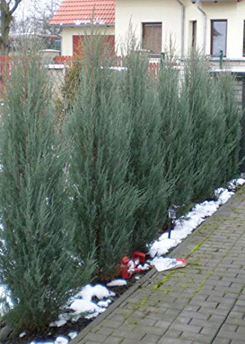 Skyrocket Juniper - 40 Live 2'' Pots - Juniperus Scopulorum - Upright Evergreen Trees by Florida Foliage (Image #5)