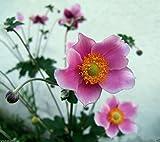 Chinese Anemone Seeds,Japanese Thimbleweed,Anemone hupehensis(30 Seeds)