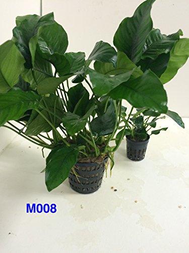 Anubias nana Mother Pot Plant M008 Live Aquatic Plant by Jayco (Image #2)