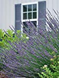 Perennial Farm Marketplace Lavandula x Intermedia 'Phenomenal' ((Lavender) Perennial, Size-#1 Container, Violet-Blue Flowers