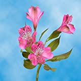 GlobalRose 240 Blooms of Hot Pink Select Alstroemerias 60 Stems - Peruvian Lily Fresh Flowers for Delivery