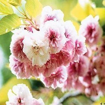 Amazon Com Rainbow Japanese Sakura Seeds Bonsai Flower Cherry