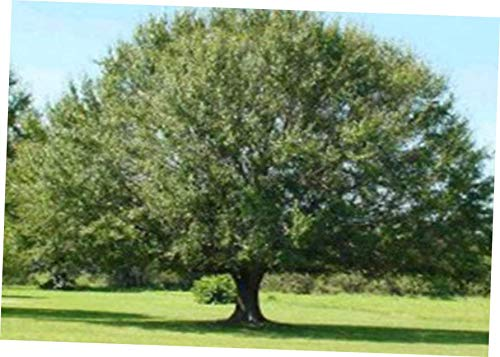 (WANG Rooted 5 Laurel Oak Trees SEEDLINGS Quercus laurifolia (5 Free Plants) - RK15)