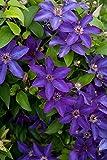 The President Clematis Vine - Deep Purple