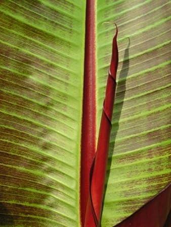 Darjeeling Banana Plant Free UK Delivery MUSA SIKKIMENSIS Red Tiger 10 seeds