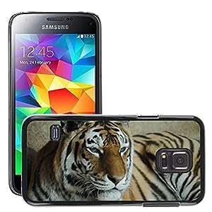 Etui Housse Coque de Protection Cover Rigide pour // M00135719 Tiger Wild Animal Zoo Salvaje Predator // Samsung Galaxy S5 MINI SM-G800
