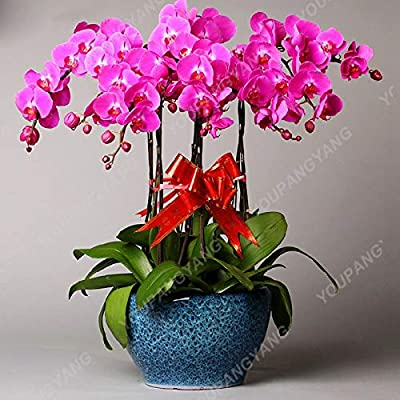 100pcs/bag Hydroponic Orchid Bonsai Indoor Flowers Plants Four Seasons Phalaenopsis Orchids Bonsai for Home Gard