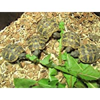 Shelled Warriors Quick Growing Seed Mix - Grow Your Own Tortoise Food - See results a week!!! (10g)