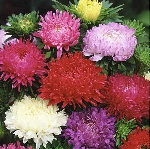 (David's Garden Seeds Flower Aster Peony Duchess Mix SL9032 (Mulit) 500 Non-GMO, Open Pollinated Seeds)