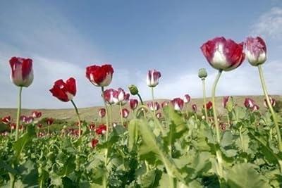 10,000 AFGHANISTAN OPIUM POPPY SEEDS - Papaver Somniferum L. Afghanistan ...