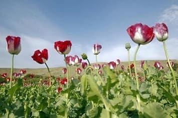 Amazon chillhawaiian brand 10 000 afghanistan opium poppy chillhawaiian brand 10000 afghanistan opium poppy seeds papaver somniferum l afghanistan mightylinksfo