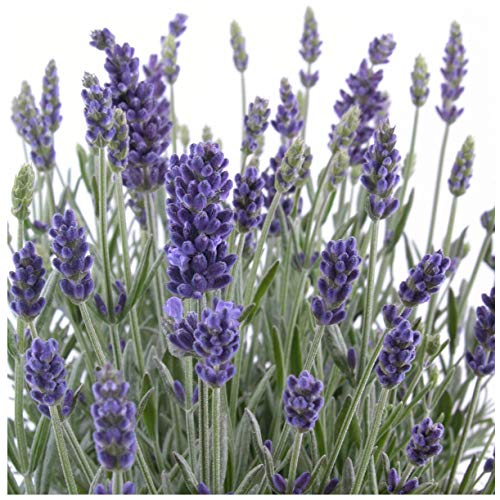 Earthcare Seeds English Lavender 500 Seeds (Lavandula angustifolia) Heirloom - Perennial - Non GMO