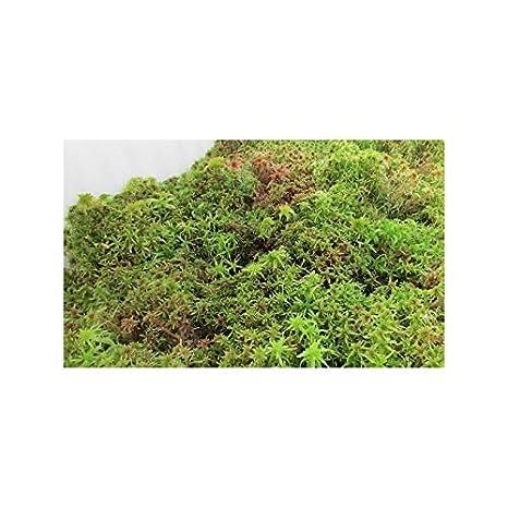 Musgo sphagnum vivo 1 L: Amazon.es: Jardín