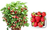 buy Organic Container Strawberry 315 Seeds + 1 Free Plant Marker - Delicious, Low-Maintenance now, new 2019-2018 bestseller, review and Photo, best price $5.09